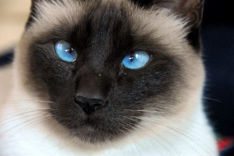 Bright Cat Eyes - A cat with bright blue eyes.