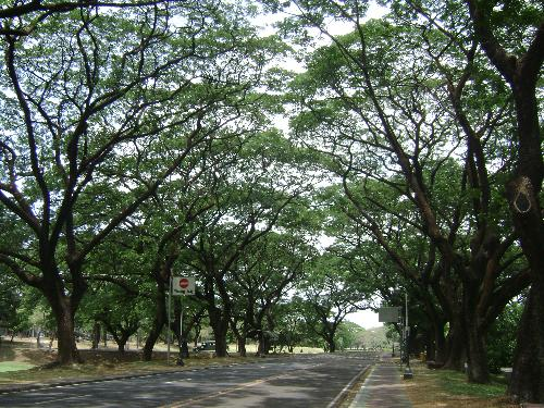 A street in UP Campus - One of the beautiful, tree-laden streets in UP campus. The sidewalks are also clean and decorated with tiles. I love to walk here during weekends.