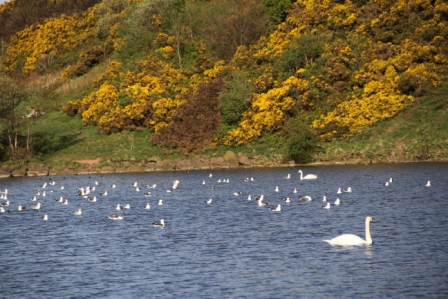 Swan and gorse - Swan and yellow gorse