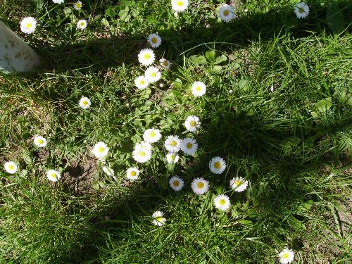 European Daisies - Here are a couple of European Daisies i photographed this Easter