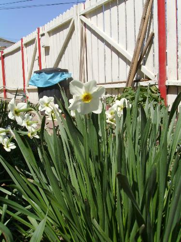 White narcissus flowers - Sorry for the garbage bin behind, i noticed it after i took the picture