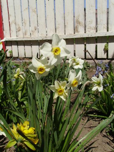 Spring flowers - White narcissus, yellow narcissus, and some violet flowers for your delight.