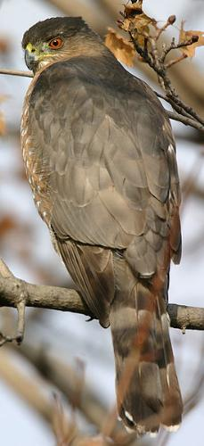 Hawk - A Cooper's Hawk. They are common all through the US and Mexico.