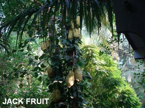 Unseasonal yield - Jack Fruit - Due to unseasonal weather fruit trees are behaving oddly