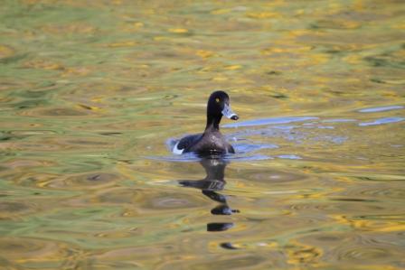 Duck - Swimming duck