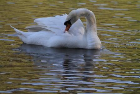 Swan - Swan grooming
