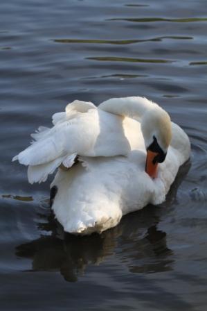 Swan grooming - Swan grooming in a pond