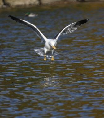 Landing gull - Gull landing on water