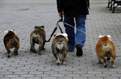 The butts have it! - Bulldogs being taken for a walk by a dog walker!