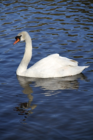 Swan - White swan on blue water