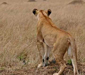 Lioness - A Lioness on a hunt. The females do must of the hunting for their Pride.