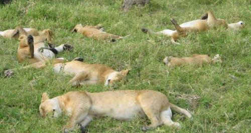 Sleeping Lions - A Pride of Lions sleeping! Like all cats,Lions do alot of sleeping!