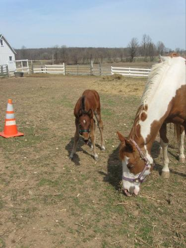Bella and her foal - Bella is the Paint mare. Her foal is a solid color and is called Vinnie.
