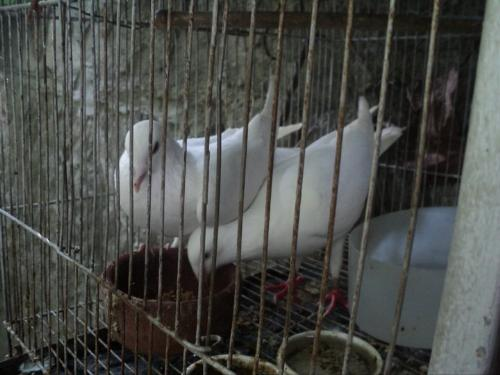 Pigeon - Pigeon Raising is fun