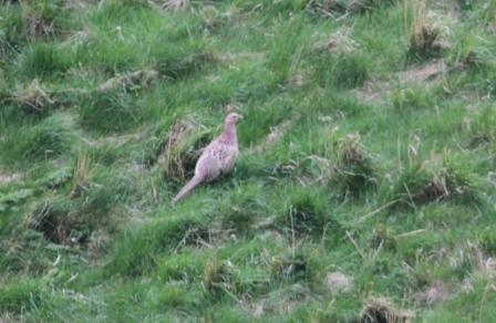Pheasant - Female pheasant