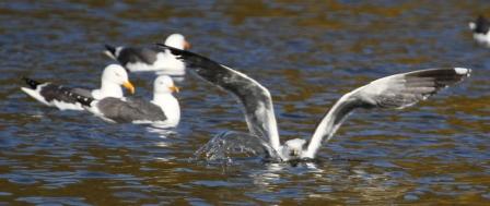 Gulls - Gulls on a pond