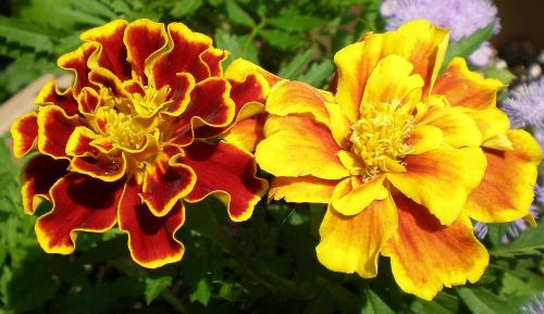 Marigolds are known to repel fleas - You can plant marigolds in your back yard, they are resistant and they smell nice.