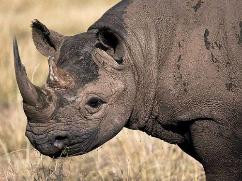 Black Rhino - The Black Rhino,which lives in Africa,is very endangered becuase it is poached for its horns! So sad.