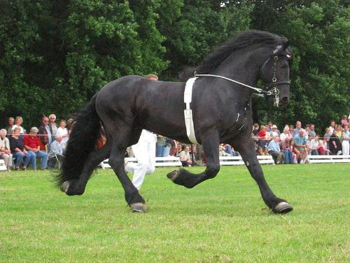 Friesian Stallion - A beatiful Friesian being shown in a surcingle.