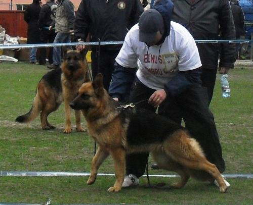 German Shepherd - In the show ring, at CAC Brasov 2011