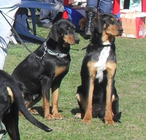 Copoi Ardelenesc - Waiting to enter the show ring at CAC Brasov 2011