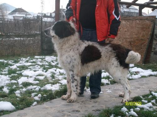 Romanian shepherd - A beautiful breed originated in Romania