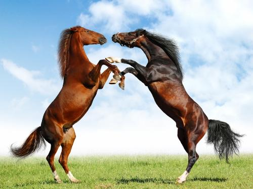 Horse Fight - Two horses facing off against each other.