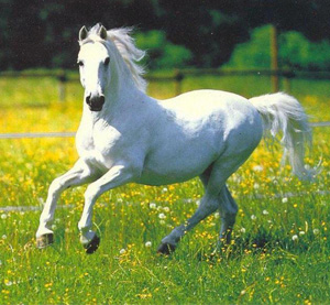White Horse - A white horse galloping