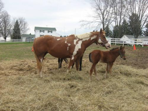 The Girls and Vinnie - Bella,the Paint is Vinnie's mom,the foal. The Bay is Sera,who is an arab.