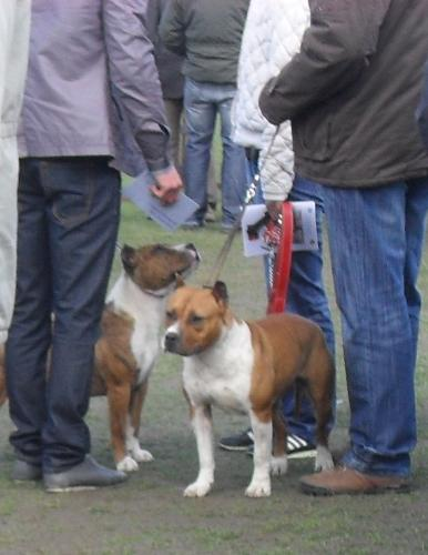 Amstaff - Waiting to enter the show ring at CAC Brasov 2011