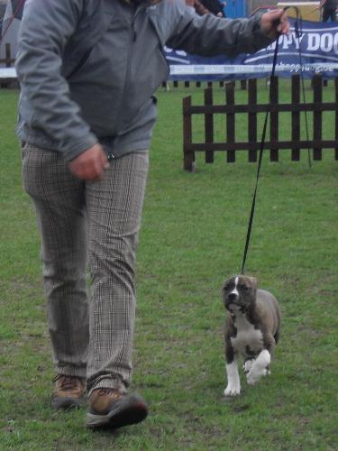Amstaff puppy - Waiting to enter the show ring at CAC Brasov 2011