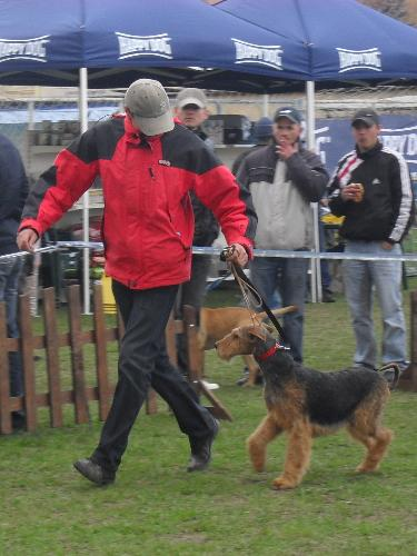Airedale - Waiting to enter the show ring at CAC Brasov 2011