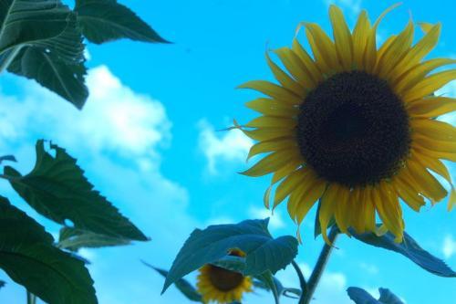 sunflower - sunflower.