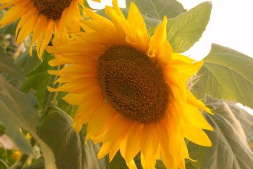 sunflower - sunflower1