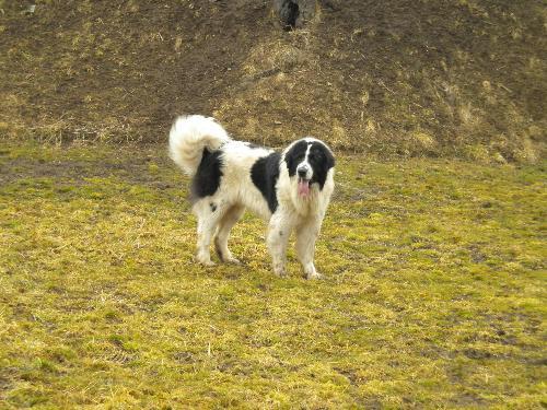 Romanian shepherd - A beautiful, strong breed originated in Romania
