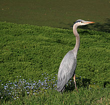 Great Blue Heron - These species od bird is common here in Wisconsin during the warm months.