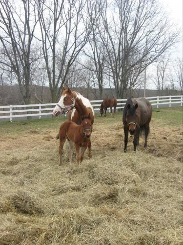 The 3 Amigos - The 3 Amigos are Bella,the Paint,Vinnie,her colt and Sera,the Arb mare.