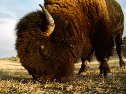 American Bison - Better known as a buffalo.