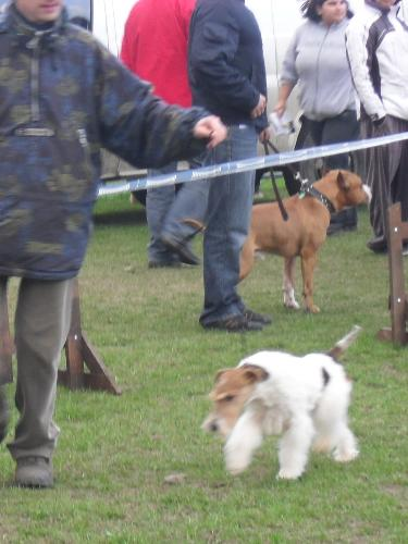 Fox Terrier - Preparing to enter the show ring at CAC Brasov 2011