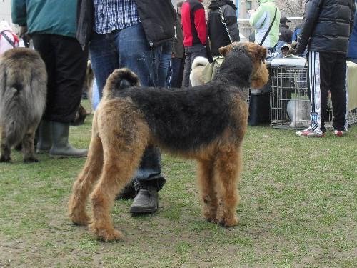 Airedale - Preparing to enter the show ring at CAC Brasov 2011