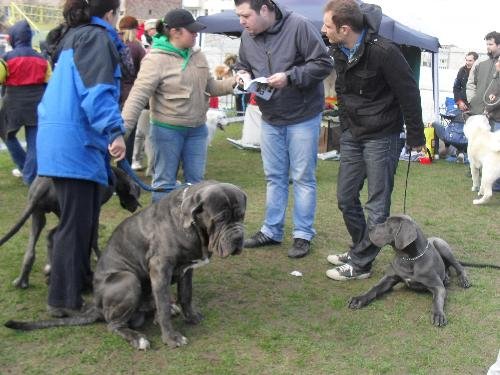 Great Dane - Preparing to enter the show ring at CAC Brasov 2011