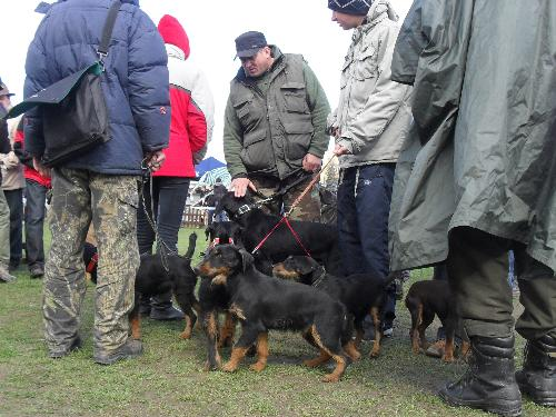Jagd Terrier - Preparing to enter the show ring at CAC Brasov 2011