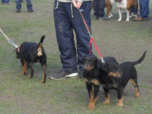 Jagd Terriers - Preparing to enter the show ring at CAC Brasov 2011