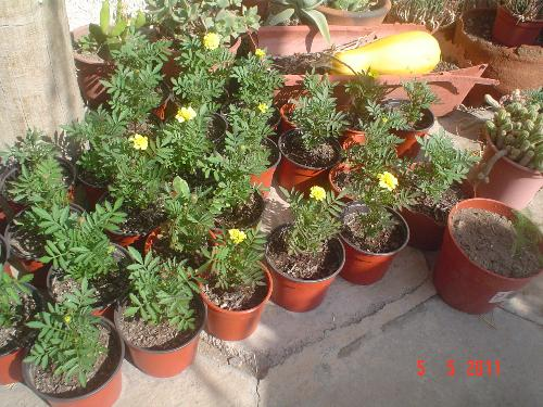 marigolds in Autumn - My marigold plants. I´ll place them in the ground today.