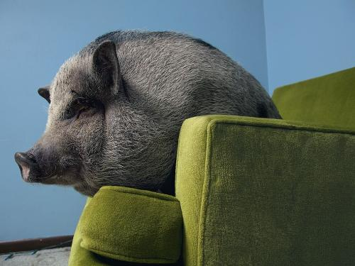 Pot belly pig - There are people who like and own pot belly pigs as pets!