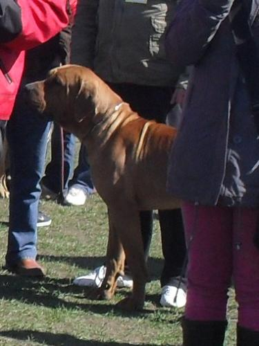 Tosa Inu - Preparing to enter the show ring at CAC Brasov 2011