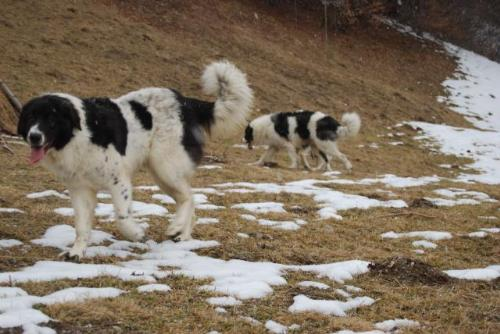 Romanian shepherd - A beautiful and strong dog originated in Romania