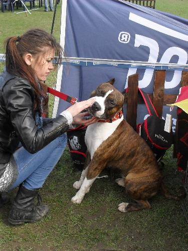 Amstaff - Preparing to enter the show ring at CAC Brasov 2011