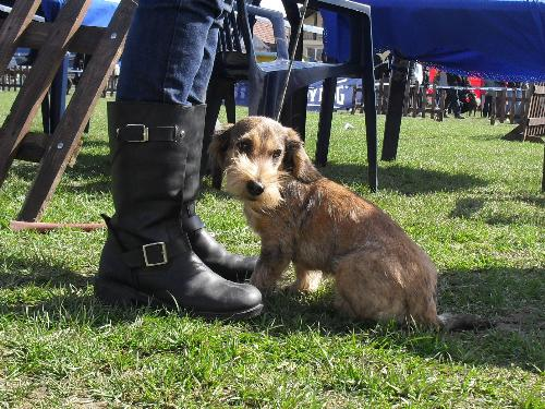 Wirehaired Dachshund - Preparing to enter the show ring at CAC Brasov 2011