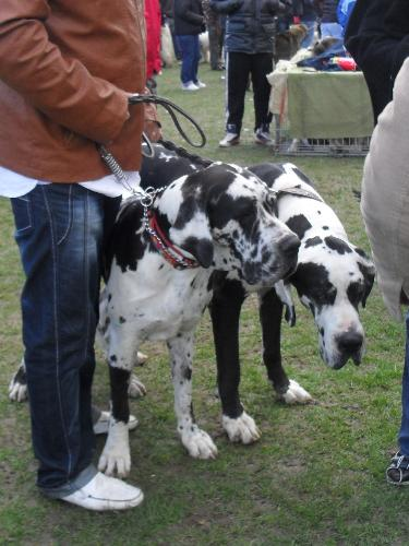 Great Danes - Preparing to enter the show ring at CAC Brasov 2011